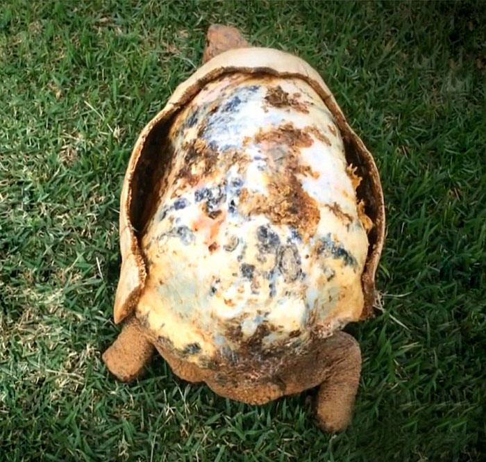 geeetechblog-tortoise-3d-printed-shell-freddy-1